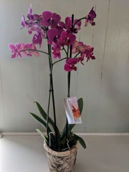 Magenta Phalaenopsis Orchid. Price from