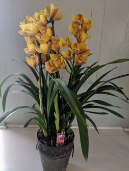 Yellow Cymbidium Orchid. Price from