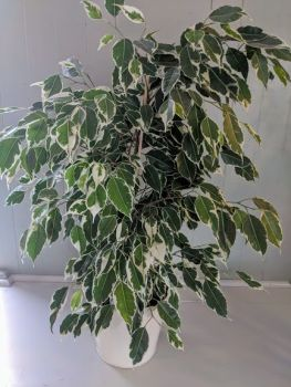 Variegated Ficus Benjamina. Price from