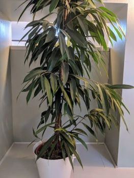 Ficus Amstel King. Price from