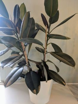 Ficus Abidjan. Price from