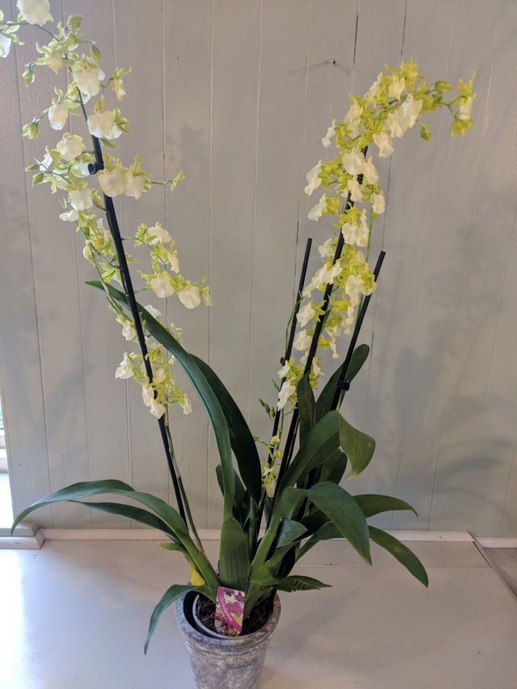 White Oncidium Pupukeya Orchid