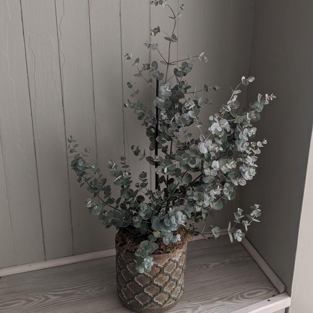 Eucalyptus 'Blue Ice'. Price from