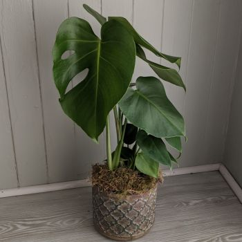 Monstera Deliciosa. Price from