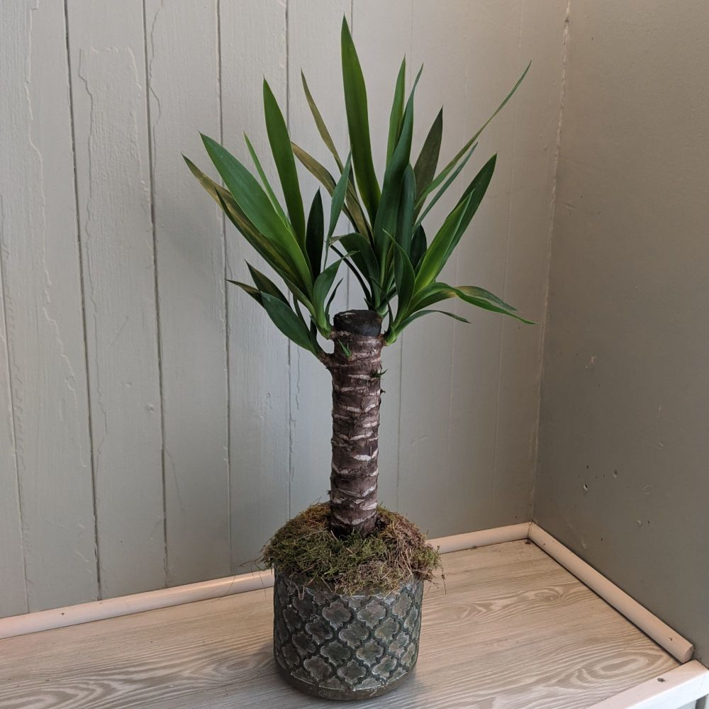 Yucca. Price from