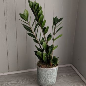 Zamioculcas. Price from