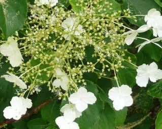 Close up flowers on Climbing Hydrangea