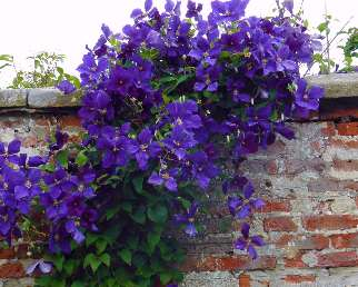 clematis-trailing-over-a-wall