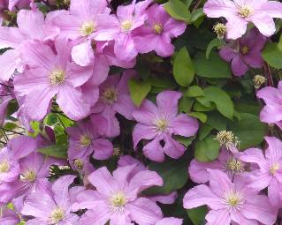 clematis-large-blooms-pale-pink