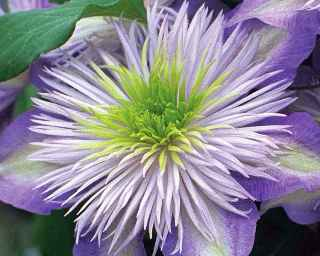 clematis 'crystal-fountain'