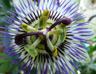 passion flower suitable for seaside garden