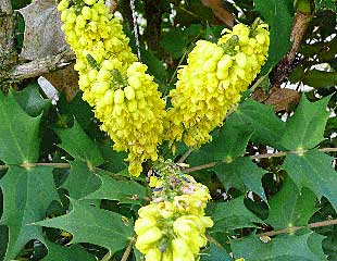 Mahonia for Winter Colour