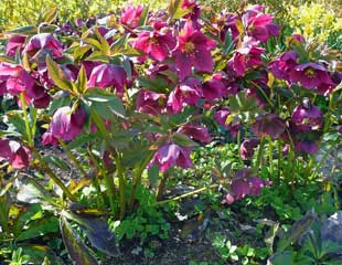 Clump of Hellebores