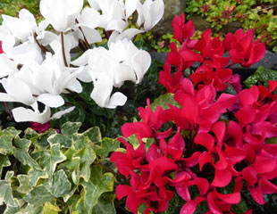 Autumn bedding plants Cyclamen