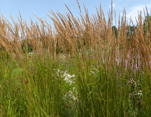 Grasses at their best