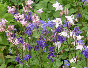 Colourful mixed group of Aquilegia