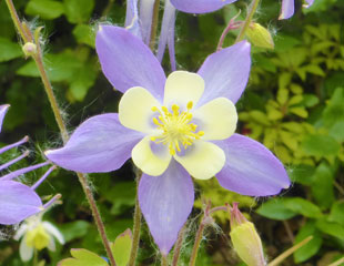 Aquilegia caerulea 'Blue Star'