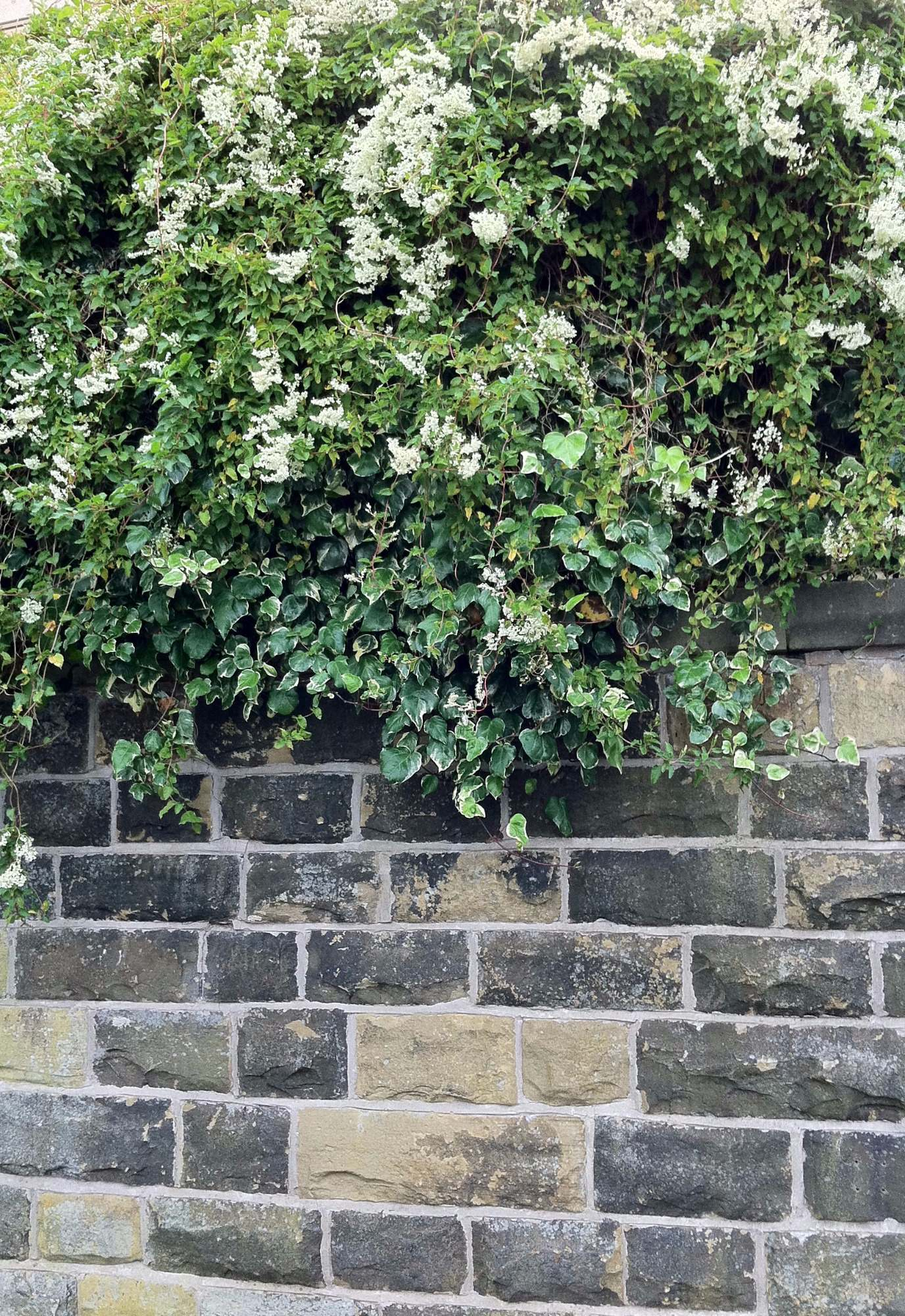 fallopia Russian Vine looks good trailing over a wall
