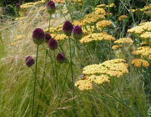 Allium with Achillea and grasses