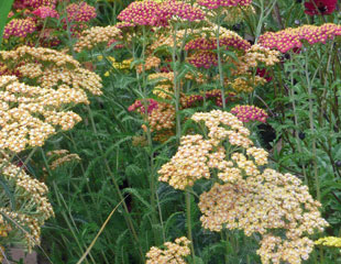 Achillea subtle mix of colours