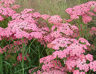 Achillea delicate pink with grasses