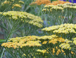 Achillea lovely flat flower heads