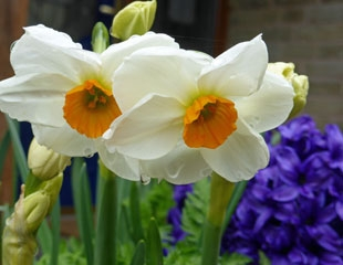 Scented narcissus