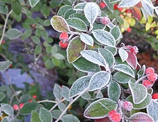 Frozen berries on Cotoneaster