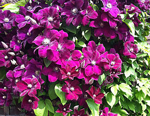 This is one of the later summer flowering Clematis ' Jackmanii' which is pruning group 3.