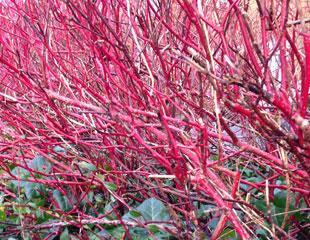 Cornus stems striking red