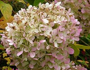 fading hydrangea blooms