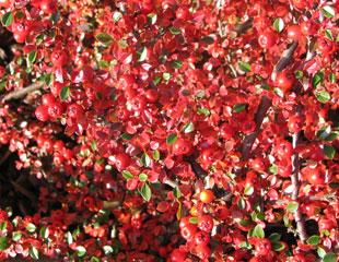 pyracanthus-berries-310-x-240