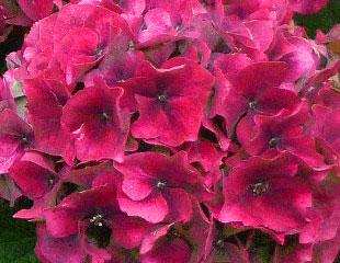 pink hydrangea macrophylla  lovely fading blooms