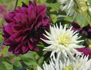 Dahlias maroon and white