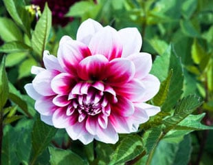 Dahlia lovely pink and white