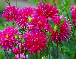 Stunning pink Dahlias in bloom