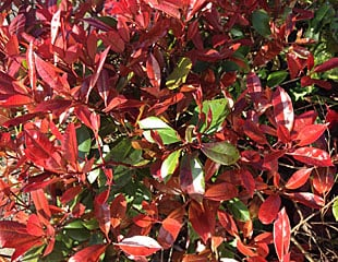 Photinia 'red robin'