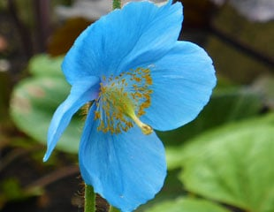 Close up of flower of Meconopsi the Himalayan Blue Poppy
