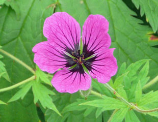geranium-single-flower-detail-310-x-240