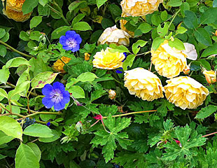 Geraniums mixed with yellow roses