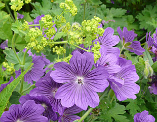 Blue Geranium contrastign with lime green  Achemilla mollis