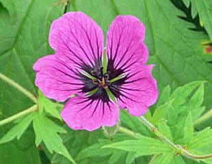 Geranium single flower lovely detailed pattern