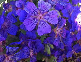 Geranium sabani lovely intense blue