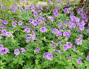 Geranium clump forming plant with many flowers