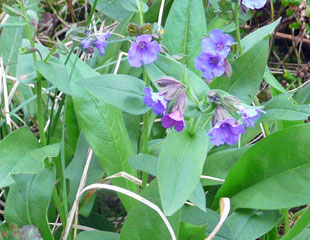 Pulmonaria delicate small flowers vital for the early solitary bees