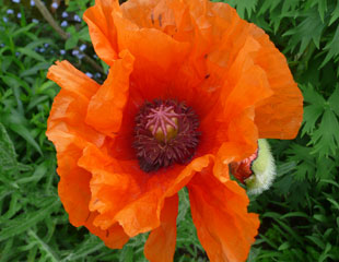 poppy Papaver orientale Prince of Orange
