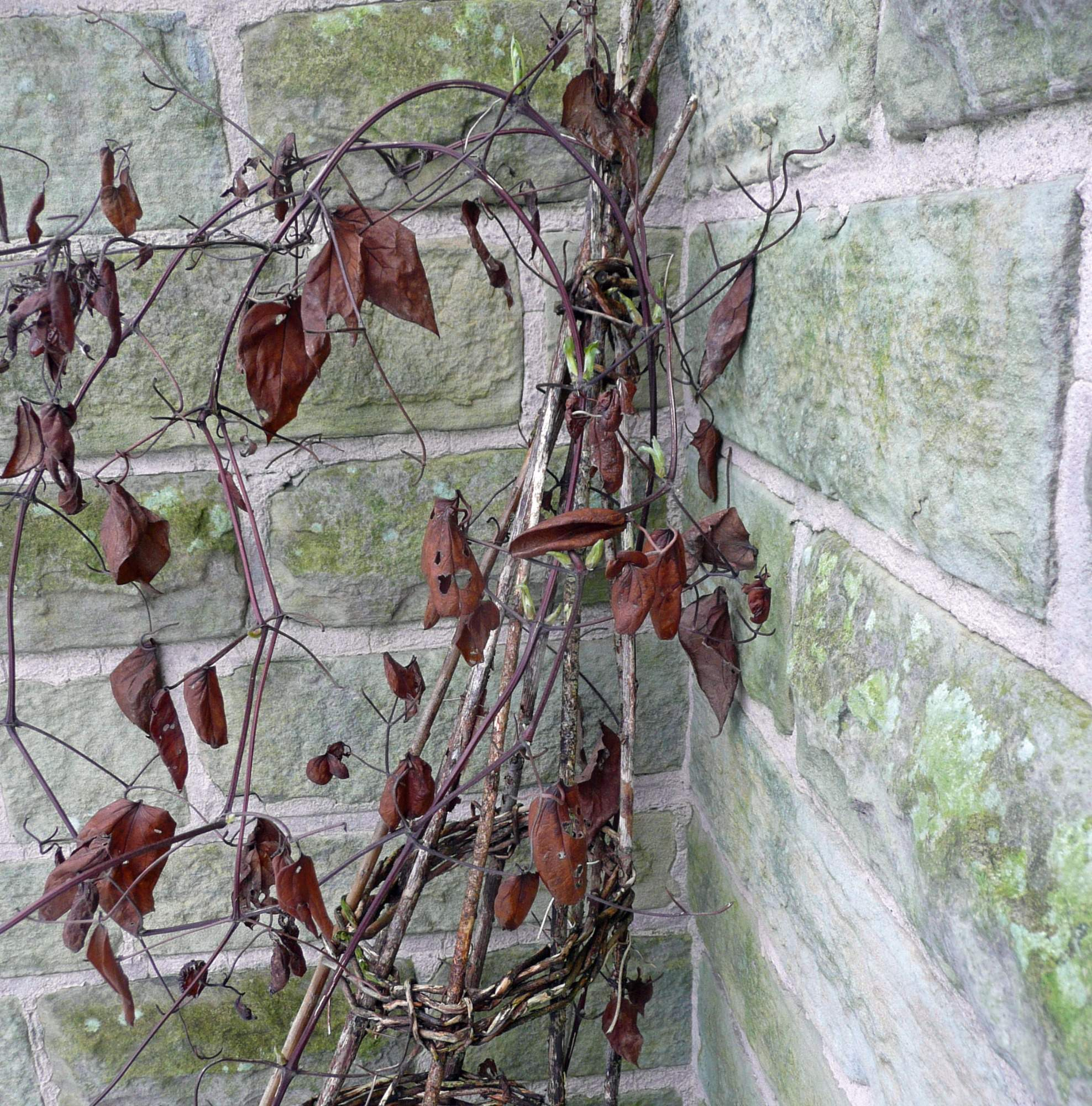 Clematis in late winter