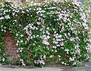 Clematis montana covering a wall