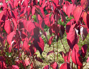 Cornus sibirica in Autumn colour