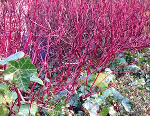 Cornus sibirica in Winter colour